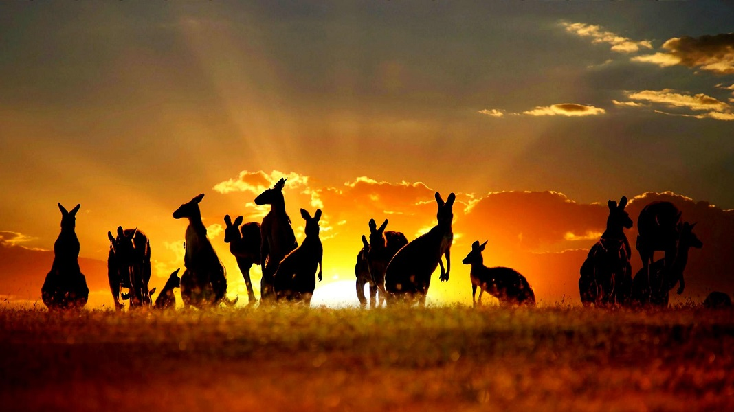 australia-sunset-kangaroos_3540